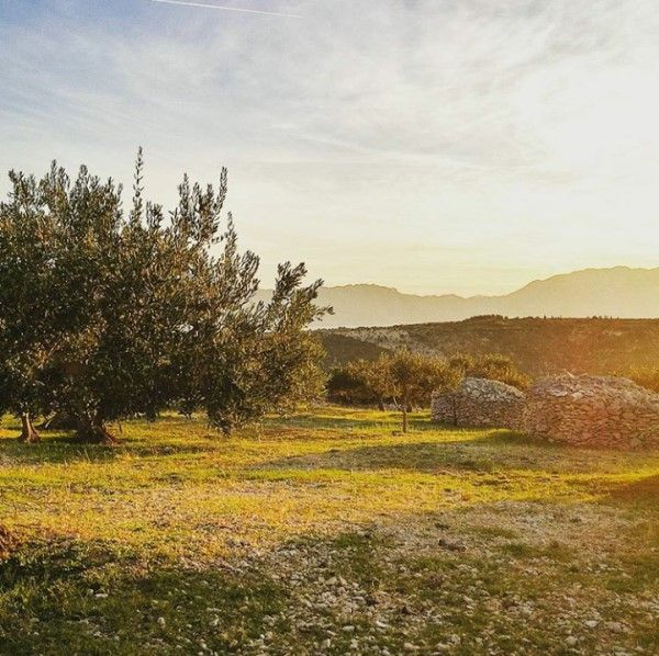 Olive groves in Dol (600 x 598).jpg